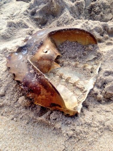 Horseshoe crab skeleton