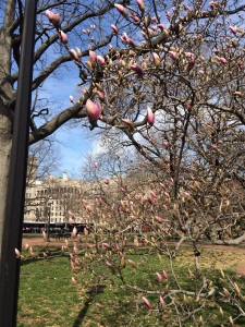Magnolia trees almost nearly bloom