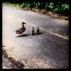 Ducks, seen on my run...